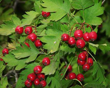 Боярышник: полезные свойства, применение, противопоказания. Отвар ягод и цветков боярышника, успокоительные капли, настойка и карволол