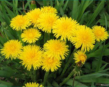 Одуванчик лекарственный: лечебные свойства листьев и корней растения, противопоказания
