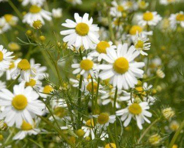 Цветы ромашки аптечной, лечебные свойства и противопоказания. Отвар, настой и масло ромашки
