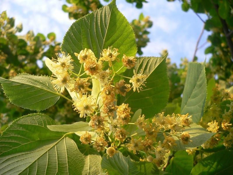Липа: полезные свойства цветков и противопоказания. Липа для похудения