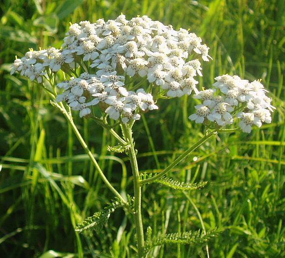 Тысячелистник, полезные свойства и лечение этим растением