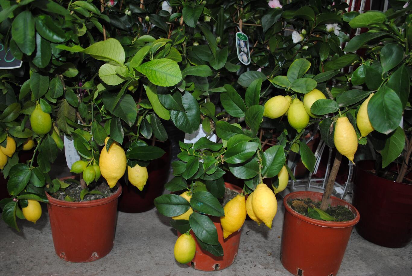 Как правильно вырастить из косточки лимон в домашних условиях (дома). Домашний лимон с плодами - плодоносящее дерево. Видео