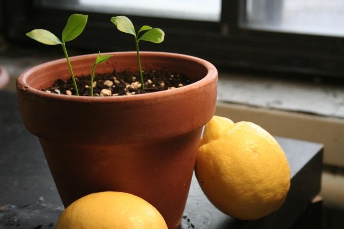 Горшок для лимона