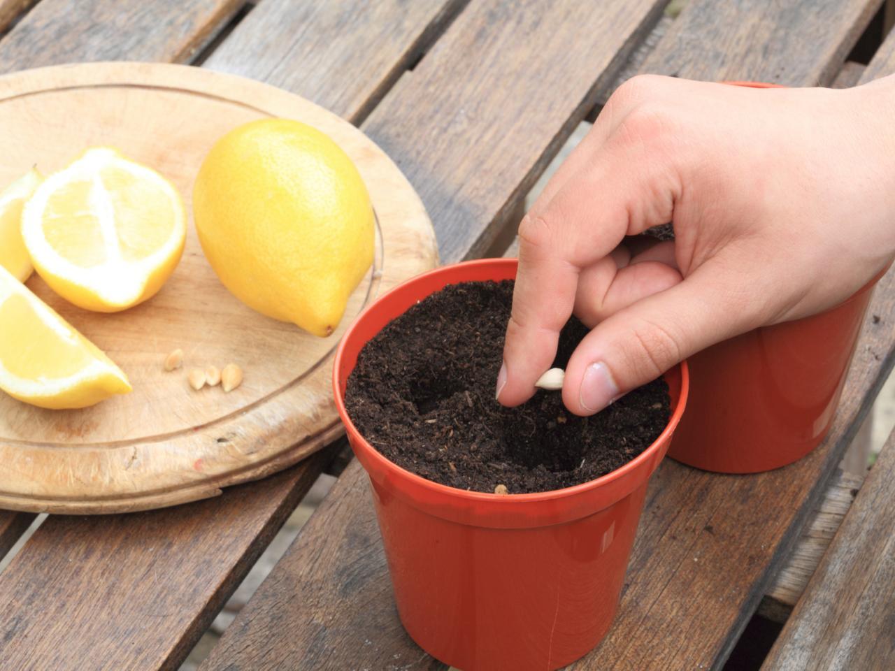 Как вырастить лимон. Косточка