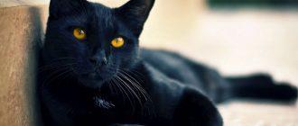 Черная кошка и кот - приметы, если перебежала дорогу или зашла в дом