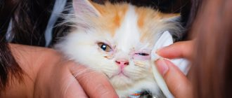 Конъюнктивит у кошек и котят: как и чем лечить и обрабатывать, народные средства