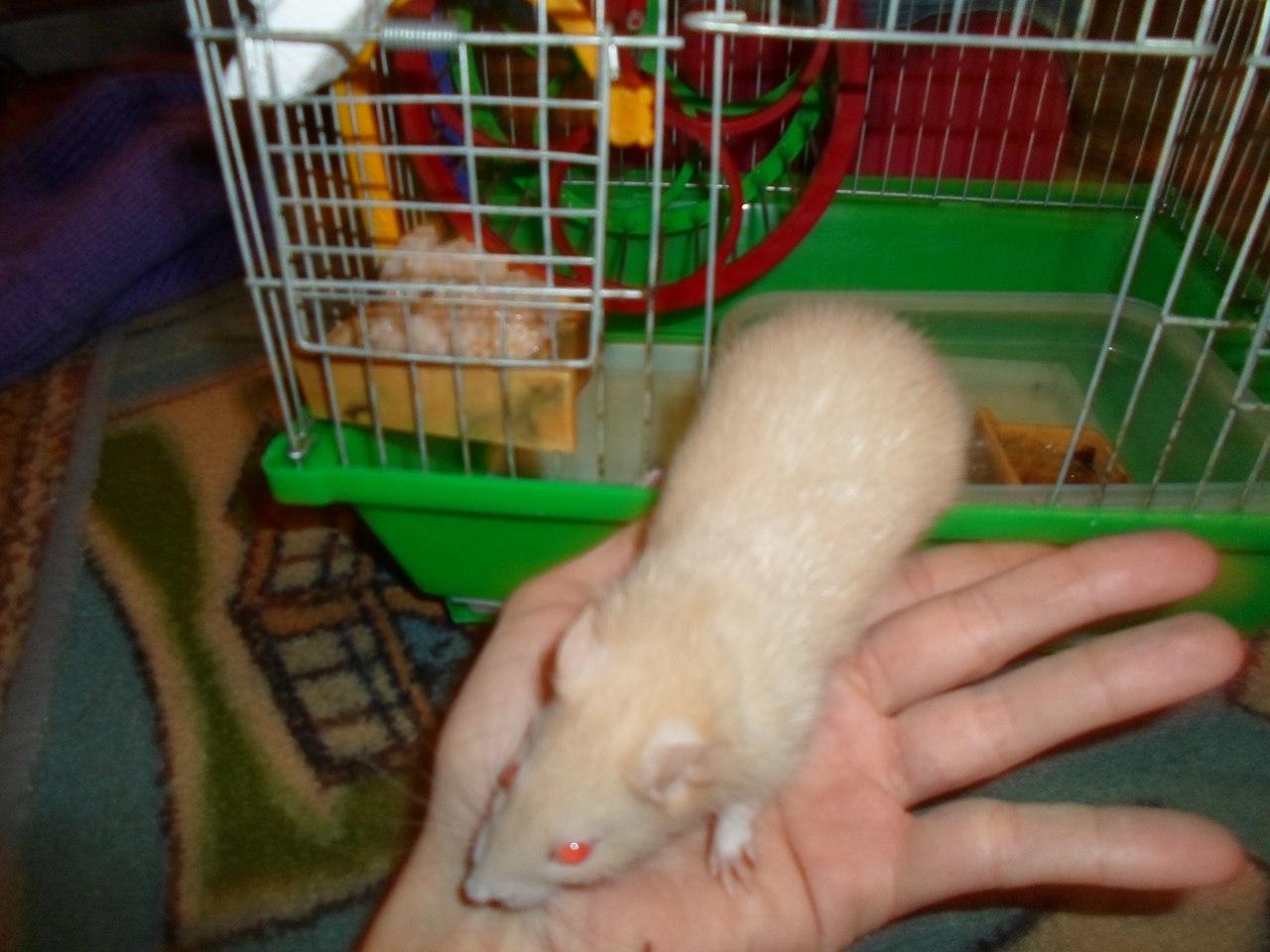 Как приручить декоративную (домашнюю) крысу из зоомагазина к рукам