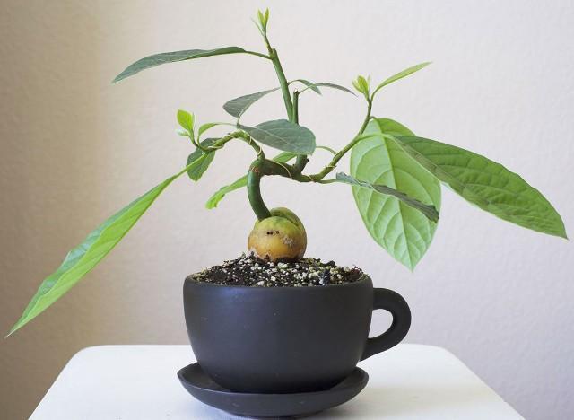 Авокадо растет в домашних условиях в чашке