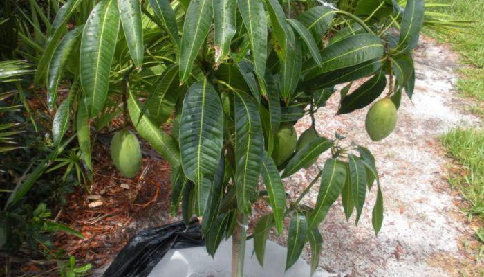 манго в горшке
