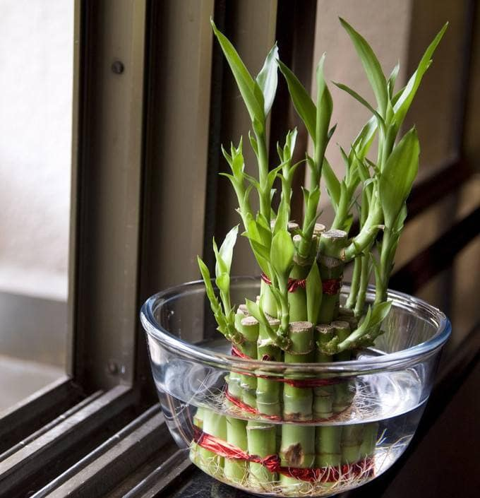 цветок бамбука