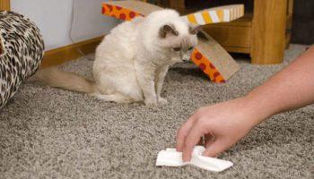 Удаление кошачьей мочи с ковра