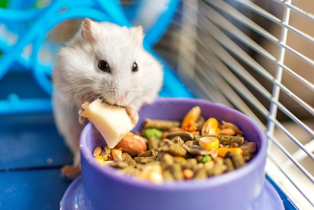 хомяк ест