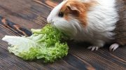 морская свинка ест салат