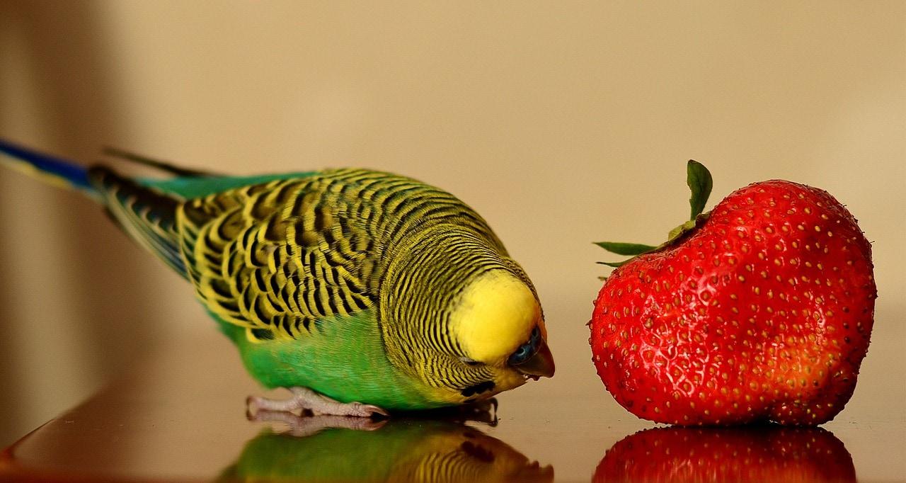 волнистый попугай и клубника