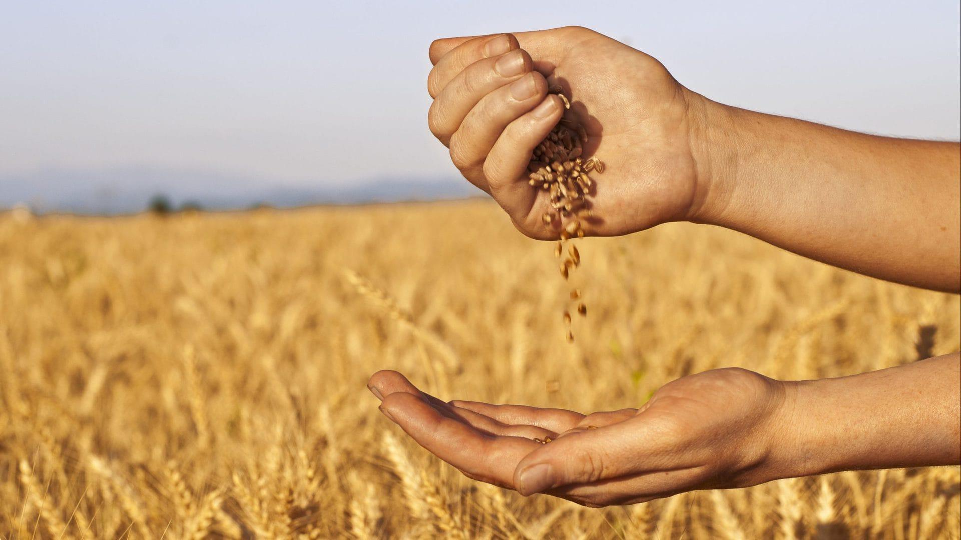 зерна на ладони