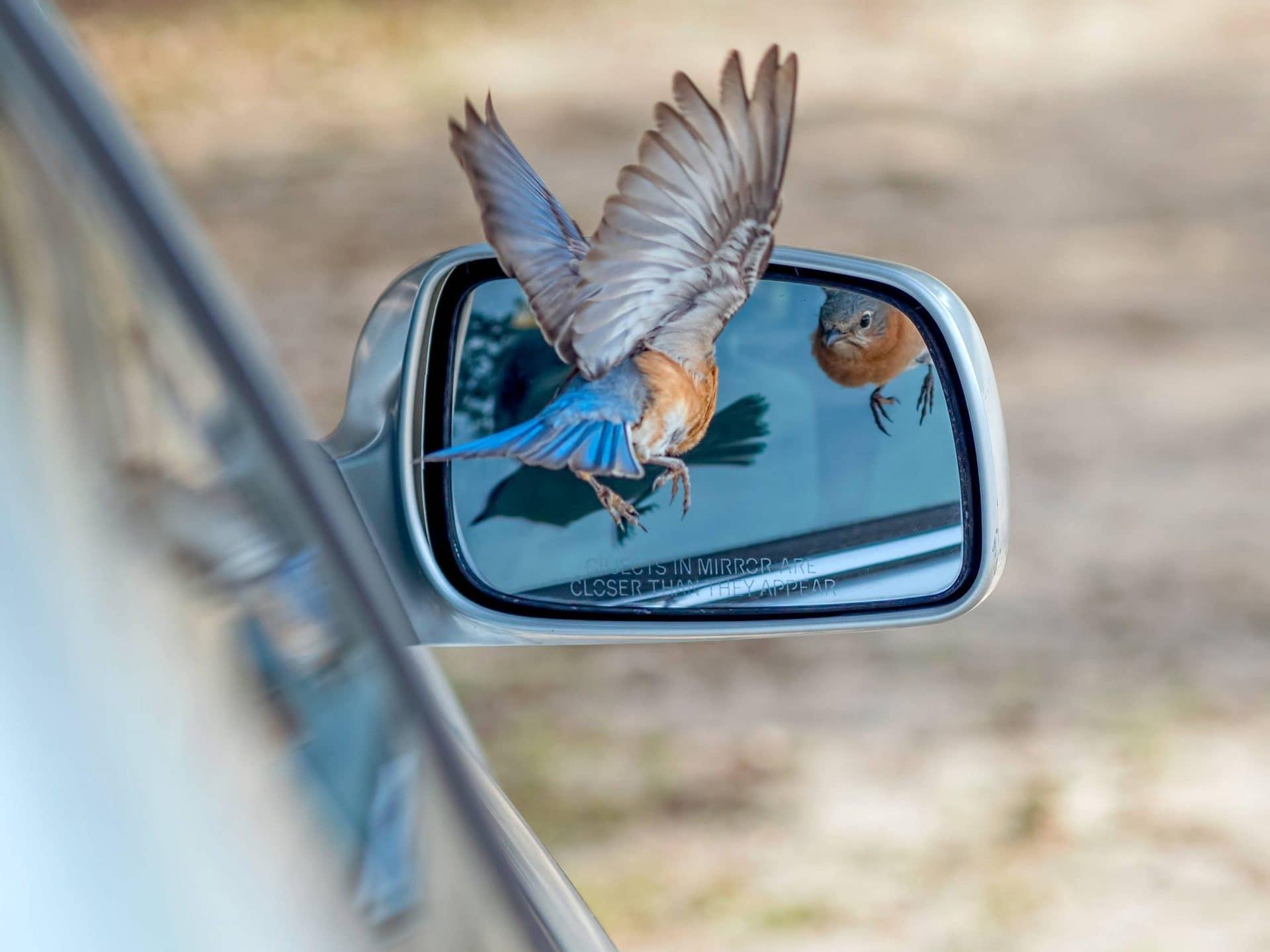 Птица на боковом зеркальце машины