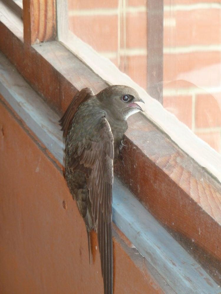 птица стучится в окно