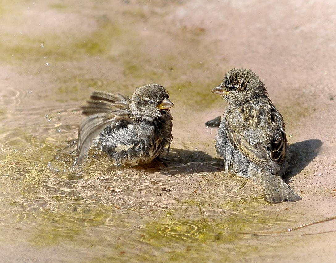 воробьи в пыли купаются