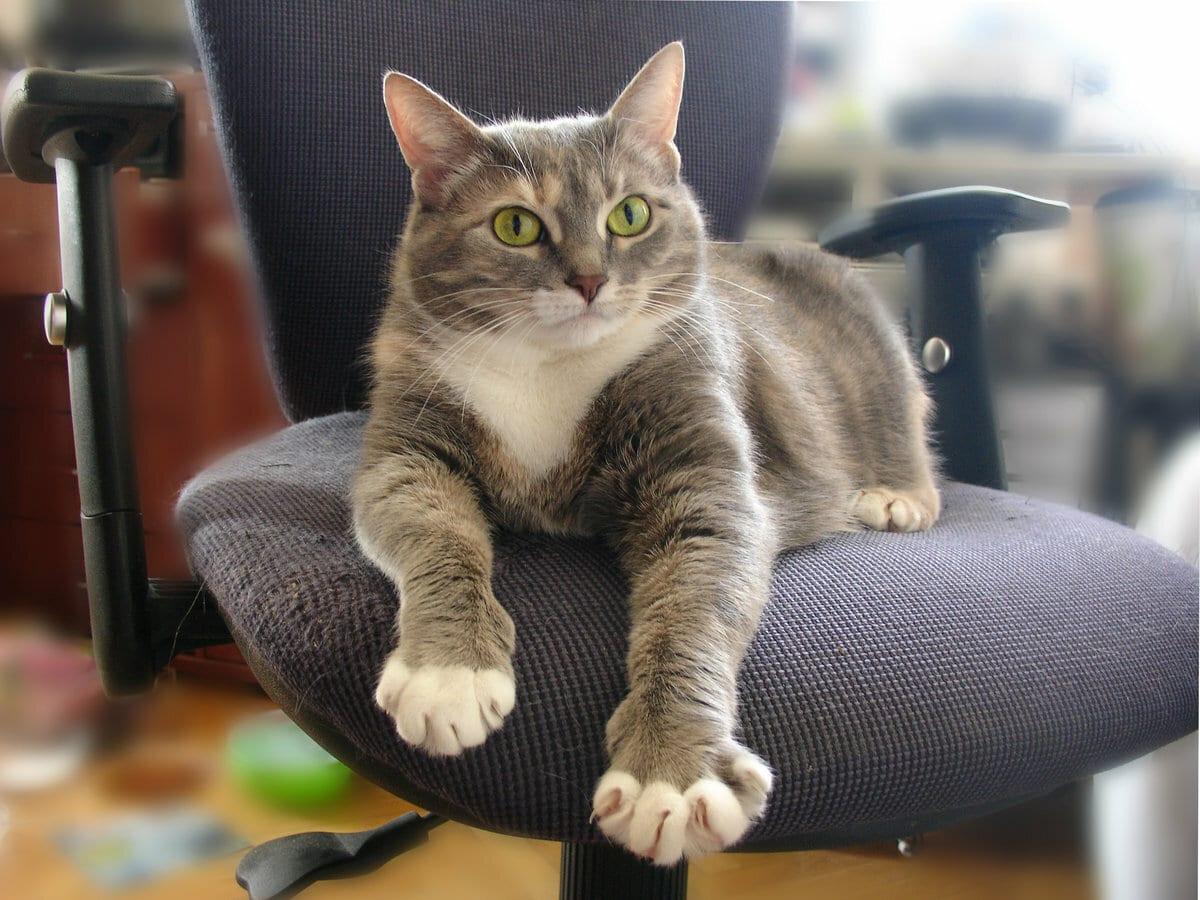 кошка в доме на компьютерном кресле